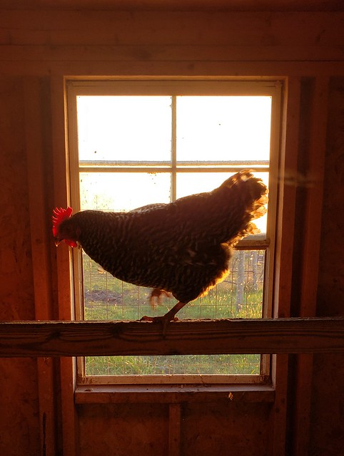 Sunset in the coop