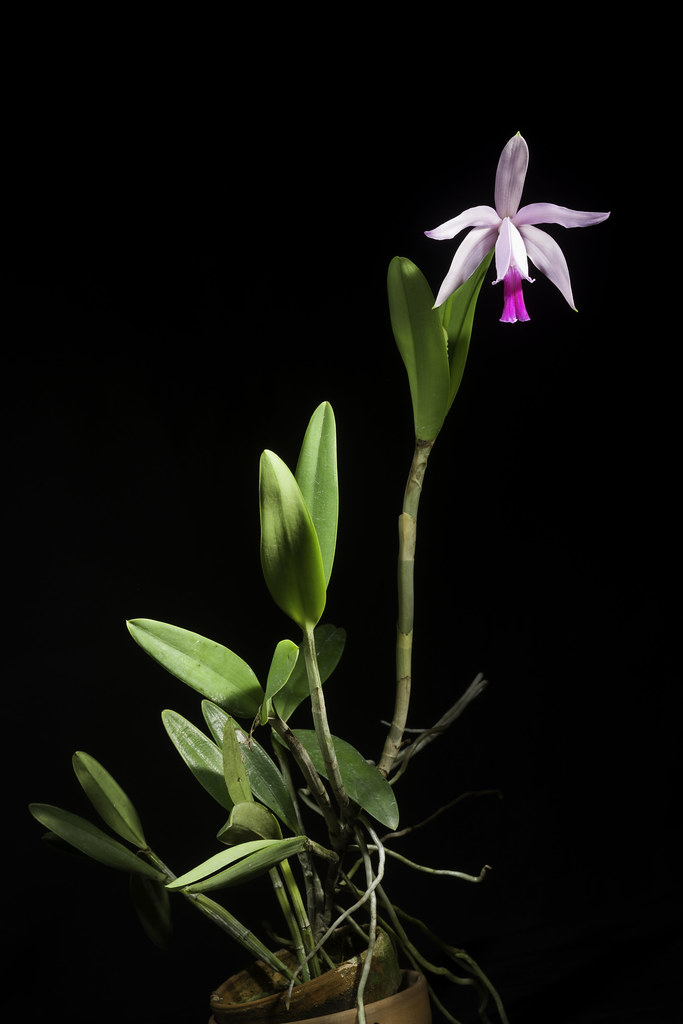 Cattleya intermedia 'Paraty' Graham ex Hook., Bot. Mag. 55: t. 2851 (1828)