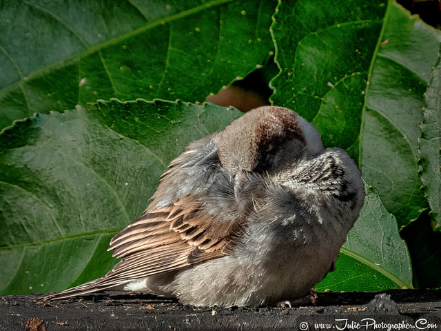 Tiny male sparrow head tucked under wing