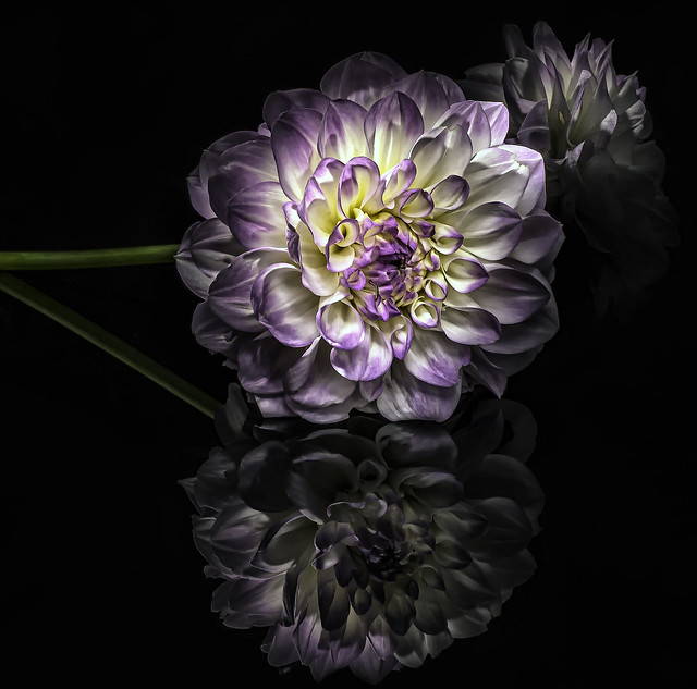 Lavender Dahlia with Two Reflections on Black