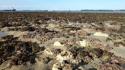 Omelette leathery soft coral (Sacrophyton sp.)