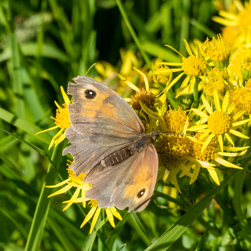 Meadow browns galore