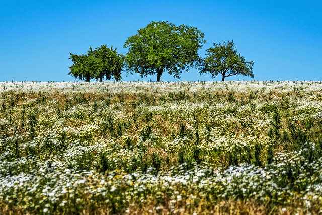 Summer meadow with three trees