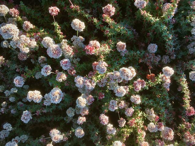 Seacliff buckwheat, Eriogonum parvifolium