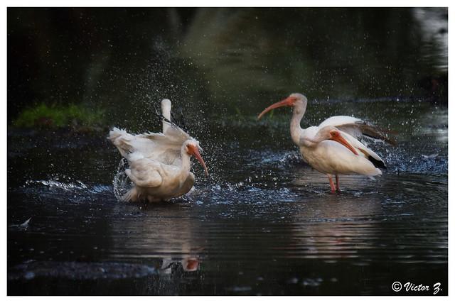 Take a bath. Lake Mary, Florida -539