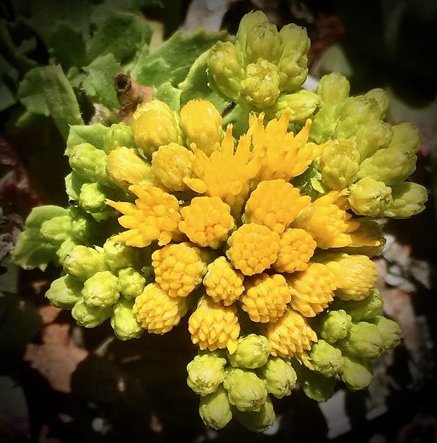 Menzies goldenbush, Isocoma menziesii