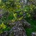 Wattle in Sturt Gorge