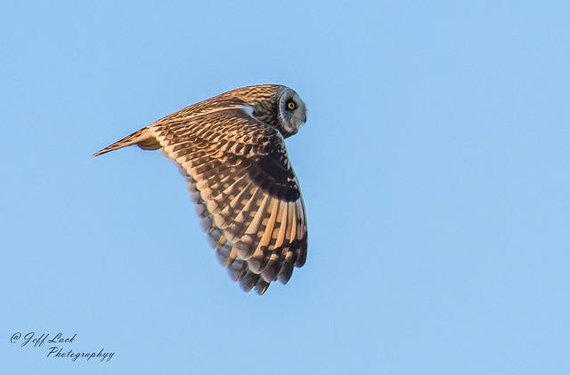 DSC4615  Short eared Owl....