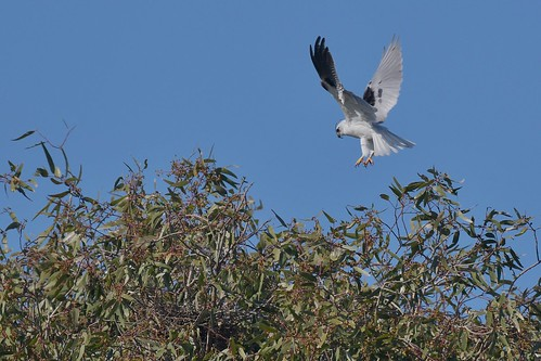 Black-shouldered Kite ( on the old nest ) | by friendsintheair