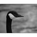 Oie bernache / Barnacle goose