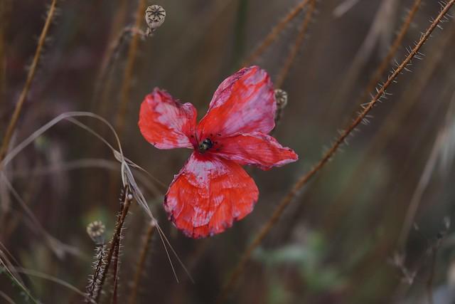 « La plus belle de toutes les fleurs est la fleur de la liberté. »