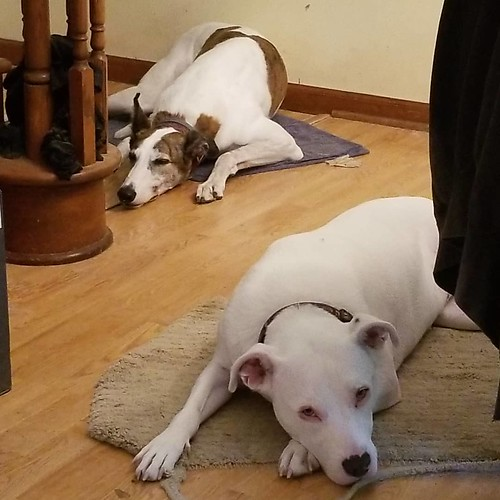 Practicing their Synchronized Pouting for Tokyo 2021. #Cane #dogsofinstagram #greyhound #greyhoundsofinstagram #Carla #pitbullsofinstagram #pitbullmix #pittie #staffordshirebullterrier #staffiesofinstagram