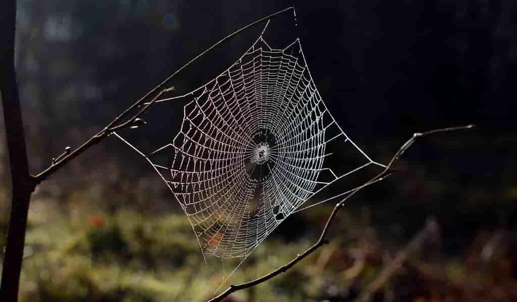 Les toiles d'araignée aident à surveiller les insectes des forêts