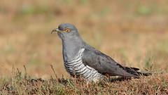 Cuckoo male (HH)