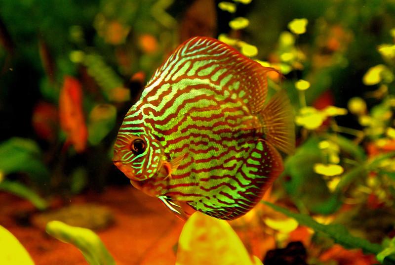 Disco-Fisch
