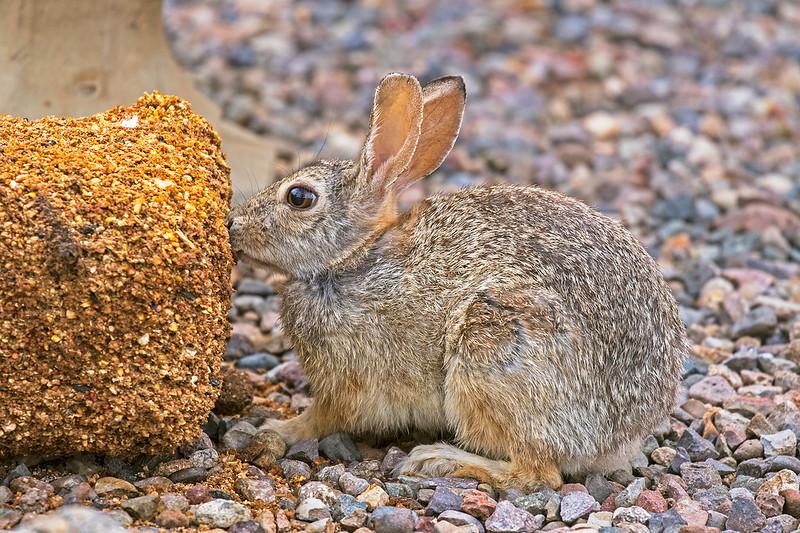 Rabbit--Z-7D2-_9720