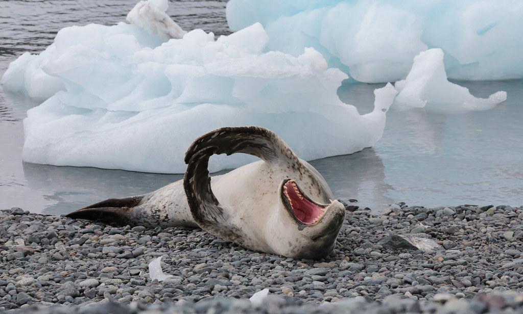 leopard seal yawn