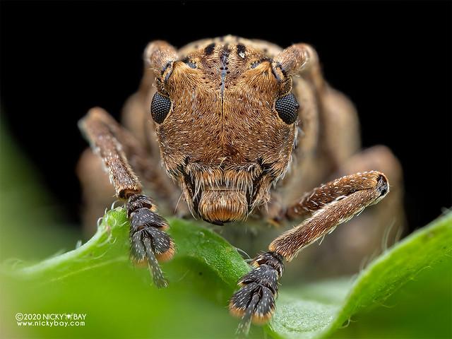 Longhorn beetle (Pterolophia sp.) - P7180611
