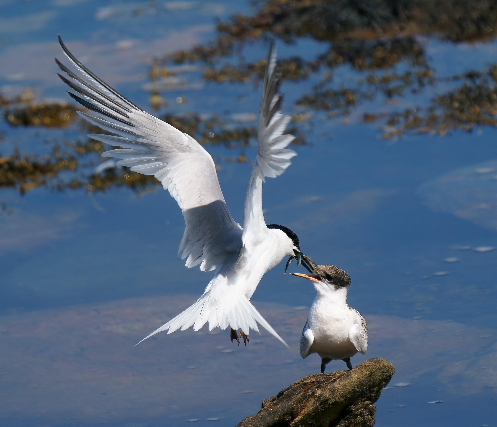 Sandwich Tern dinnertime