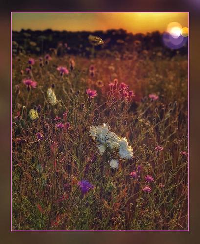sunset queenanne'slace wildflowers field springfieldmo ozarks missouri