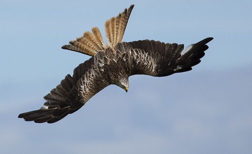 redkite dive sky amazing beautiful raptor wildlife wild wings nature