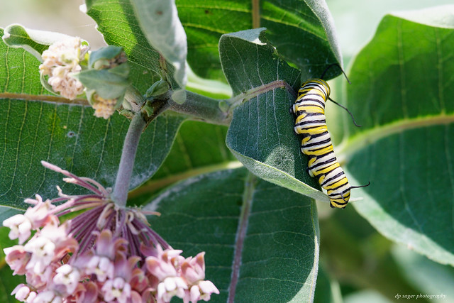 Milkweed and visitor