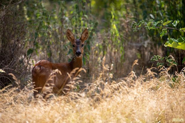 Roe deer @ urban nature, Leipzig 2020