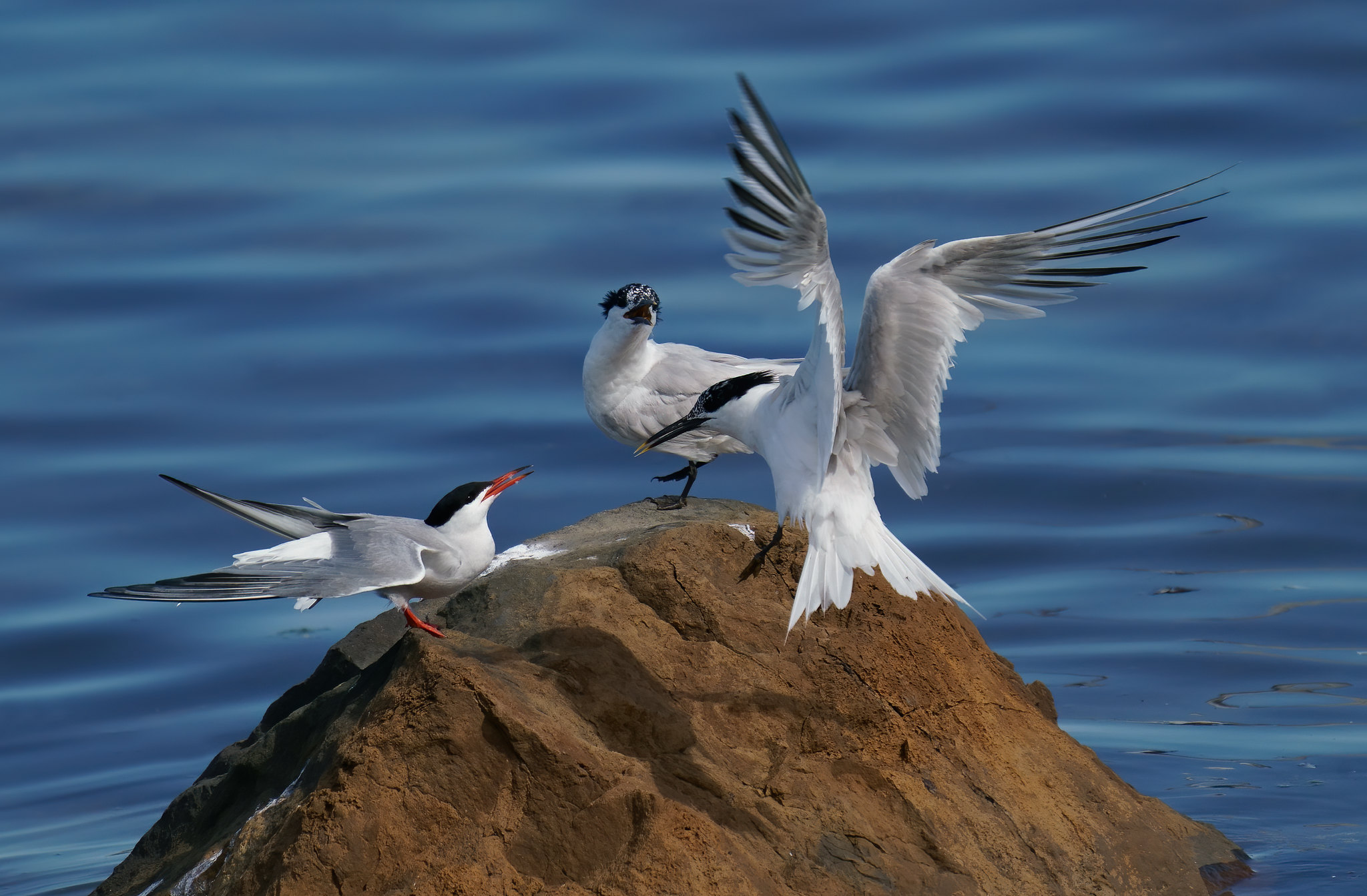 Sandwich Terns and Common Tern scrap