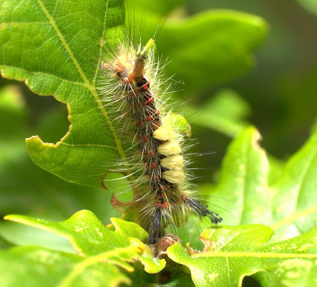 Vapourer Moth caterpillar