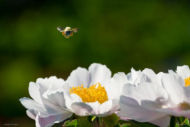 Bee flying over a peony