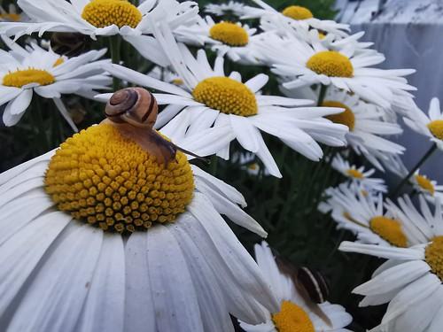 snail macro nature flowers daisy