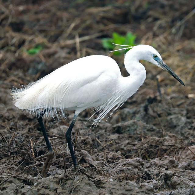 Garceta común (Egretta garzetta) Little egret