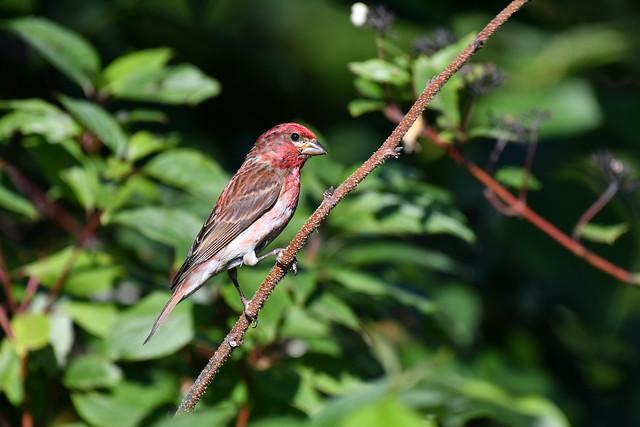 Roselin pourpré mâle--Purple Finch Male(Carpodacus purpureus) (IN EXPLORE no-60)