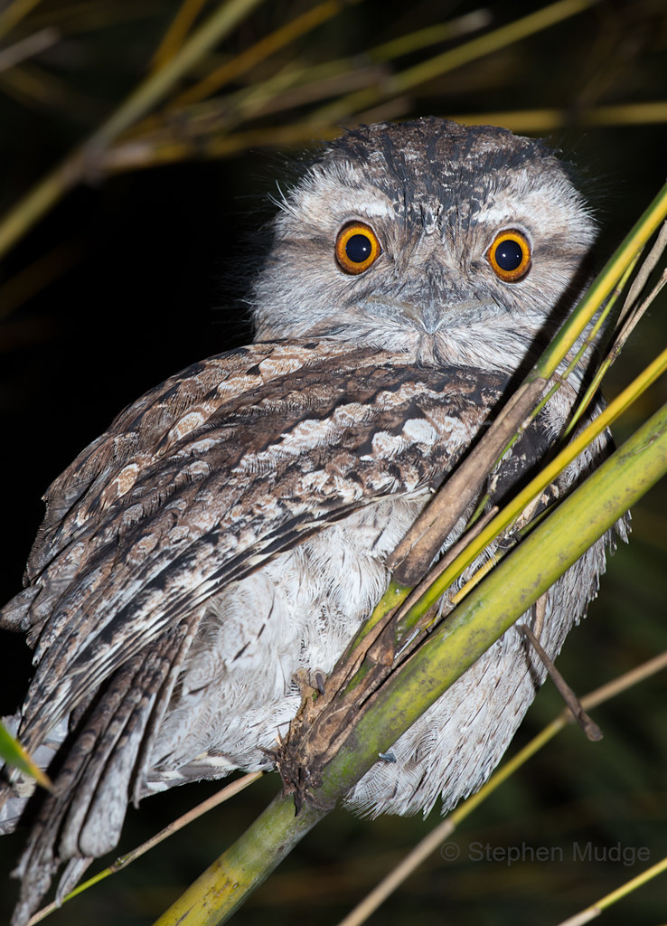 Tawny Frogmouth in the backyard #3