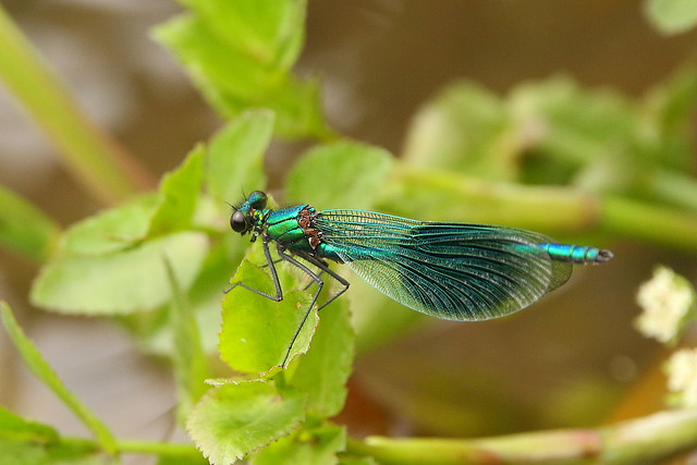 Banded Demoiselle at St Claire's Meadow, Hampshire