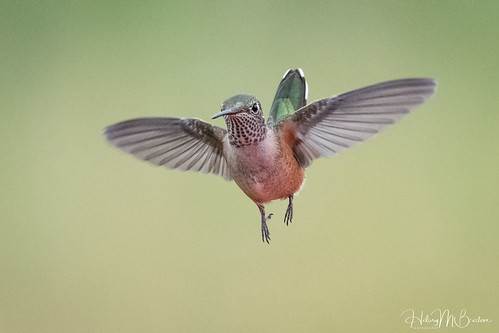 Hovering female Broad-tail