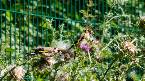 A favourite food: goldfinches, thistle seeds