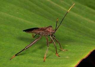 Leaf-footed Bug (Coreidae)