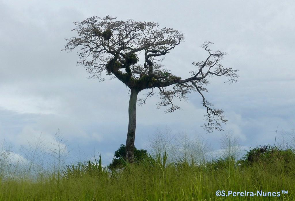 Majestic Centennial Kapok Tree in Paramaribo, Suriname