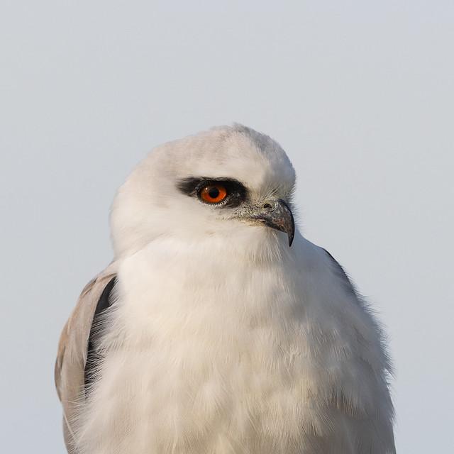 Black-Shouldered Kites (J)