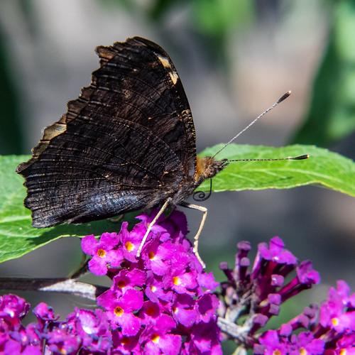 Garden butterflies: tortoiseshell on buddleia