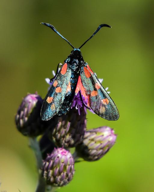 Six Spot Burnet N00230 Watchtree Nature Reserve D210bob  DSC_3888
