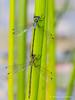Mating Emerald Damselflies (Lestes sponsa)