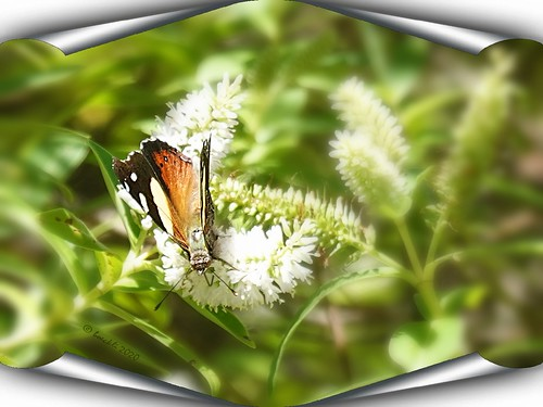 butterfly wellington zealandia schmetterling bugs insekt insect rx100m6 frame photoborder flowers flower animals tiere bunt farbig farbenfroh nature natur outdoor outside newzealand 025987 smileonsaturday insectsandco spe