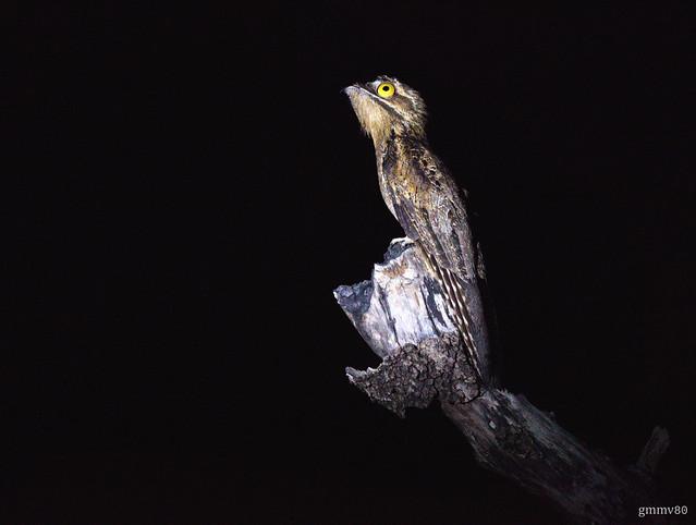 Nyctibius griseus