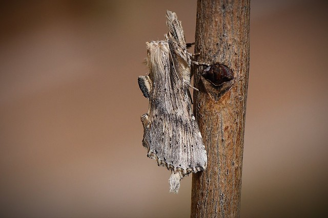 Pale prominent caught in a moth trap