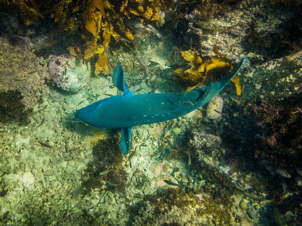 Blue Groper at Gordons Bay 2