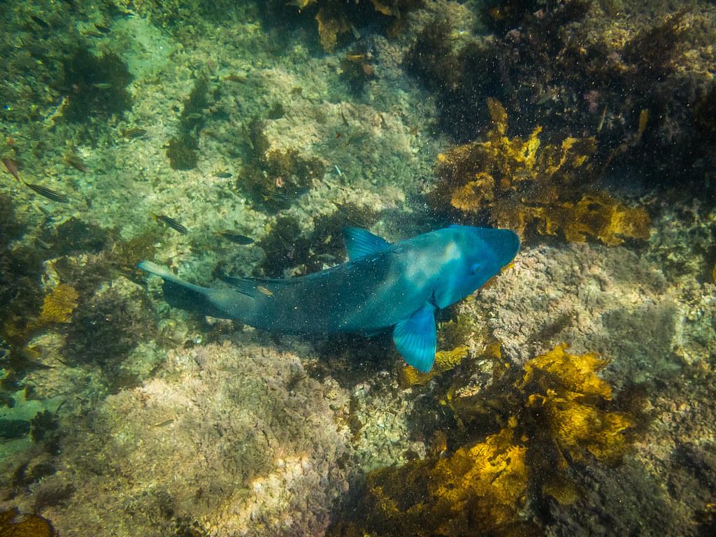 Blue Groper at Gordons Bay 1