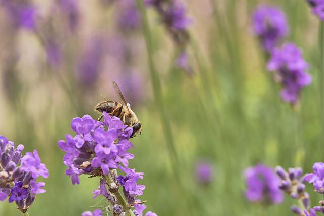 Lavender buzzzzzz