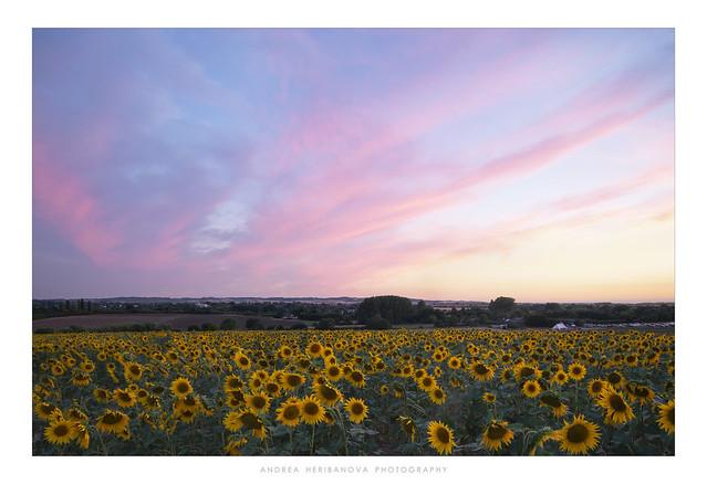 Hitchin Lavender Farm, Hertfordshire